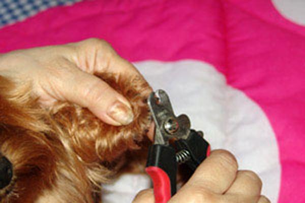 Чем стригут ногти у йорка